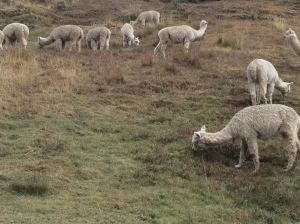 alpacas on hillside